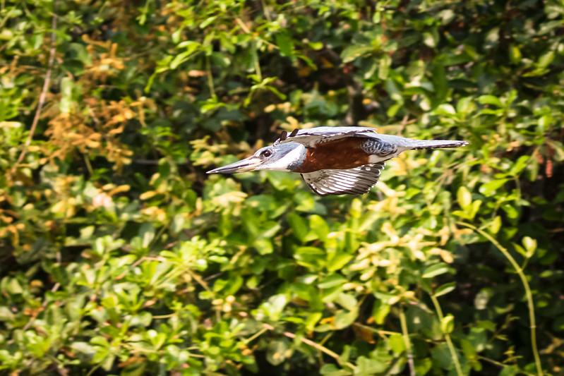 Kingfisher in flight.