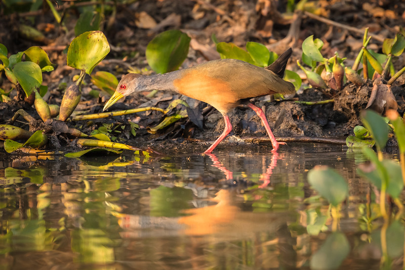 A grey-necked wood rail looking for breakfast.