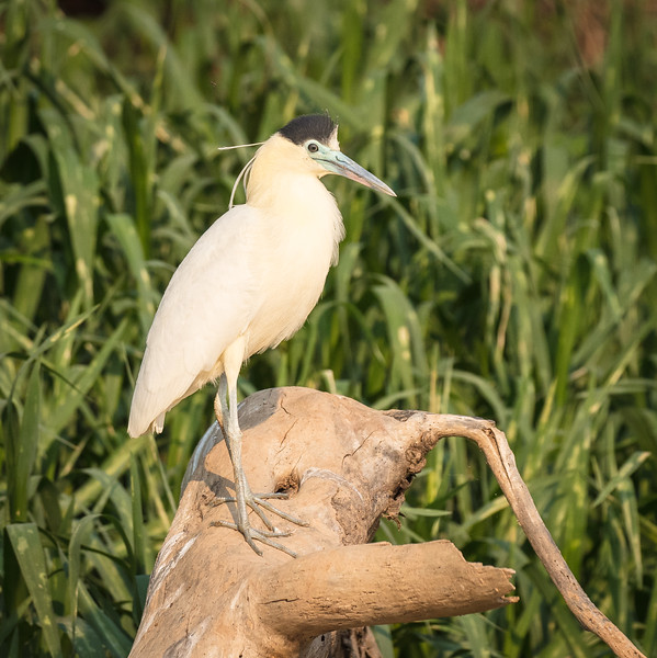 Perched capped heron.