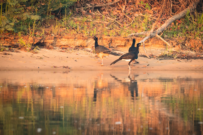 These are bare-faced curassows