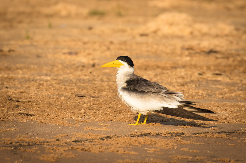 A large-billed tern watched me closely from the shore.
