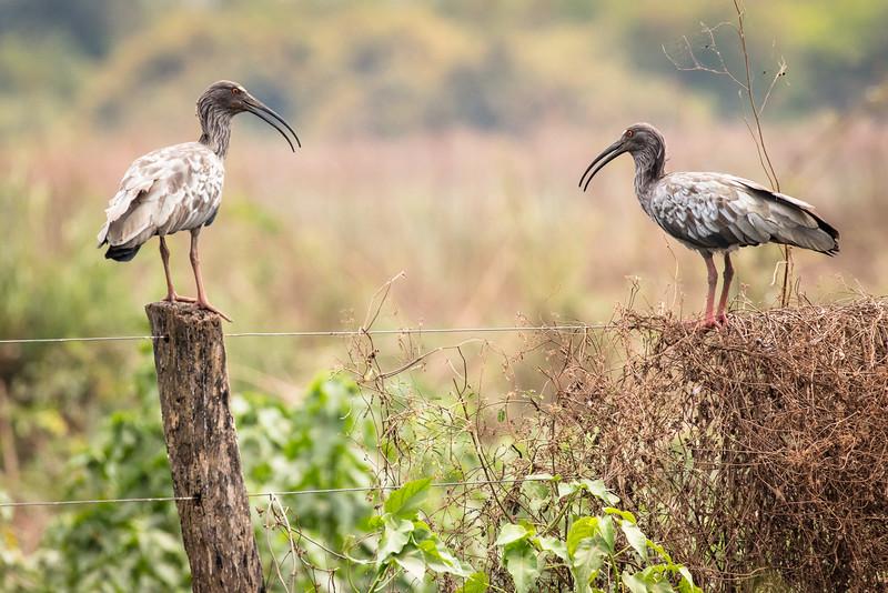 Bull-necked ibises