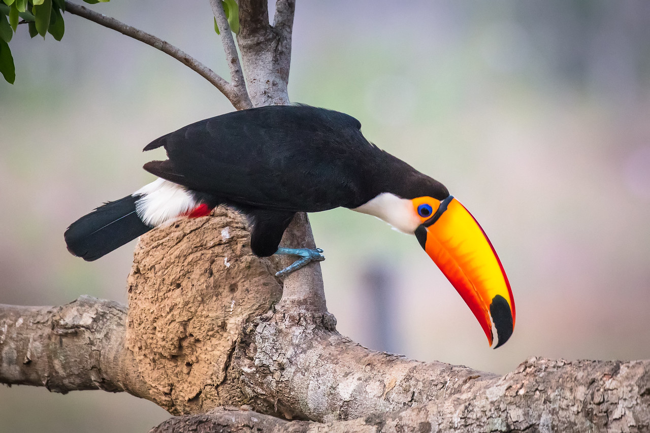 Toucans would come to the lodge because the owners would feed them. It made for fun photography.