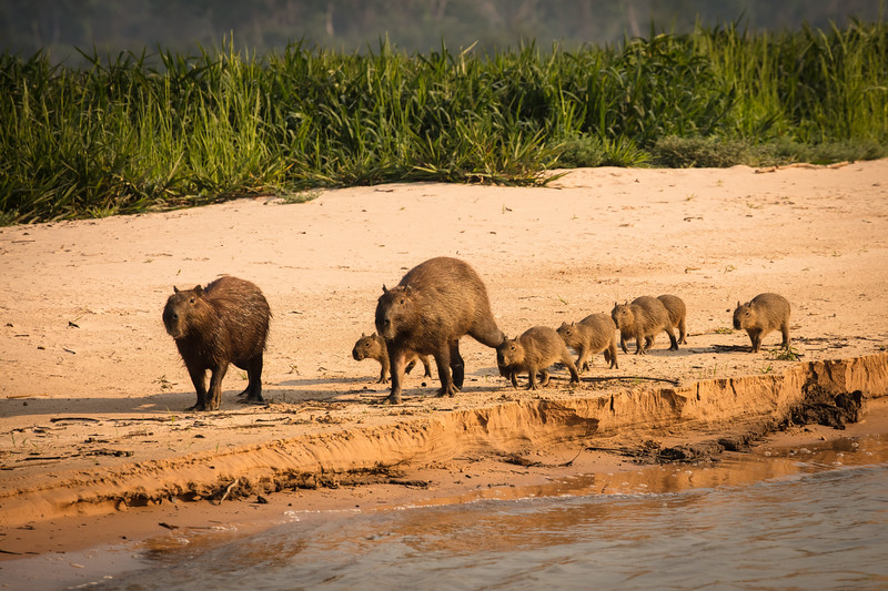 A family of capybara walking along the river's edge.