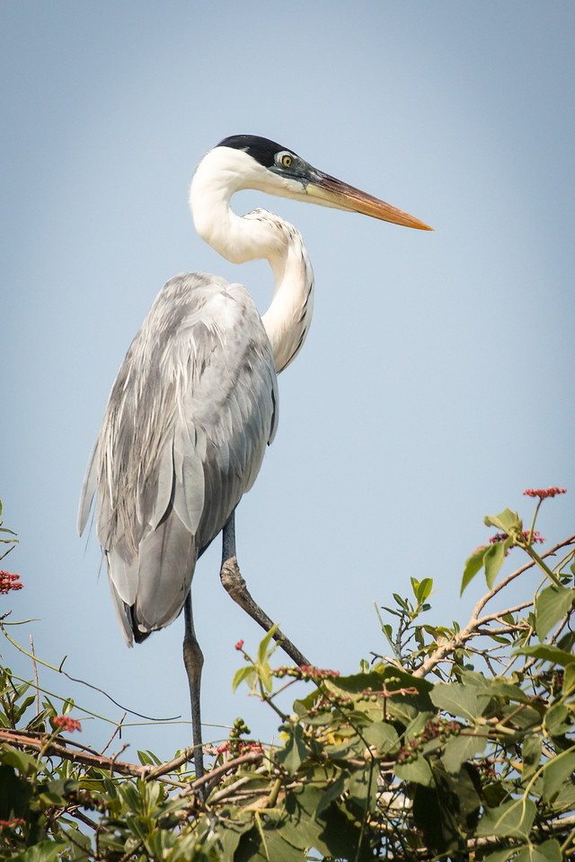 Similar to our great blue heron, this cocoi heron was common in the Pantanal.