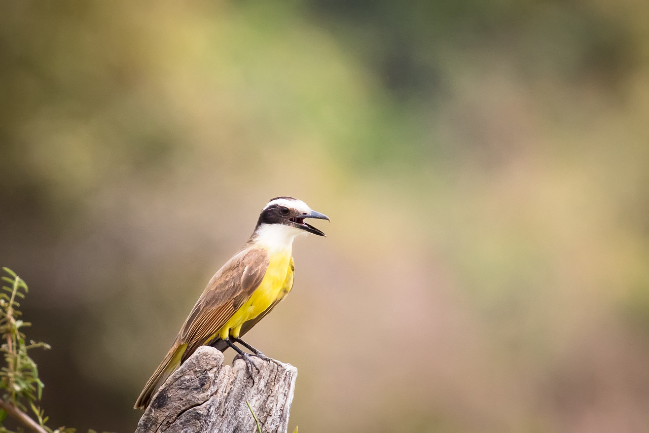Similar in looks to the flycatcher, this is a lesser kiskadee.