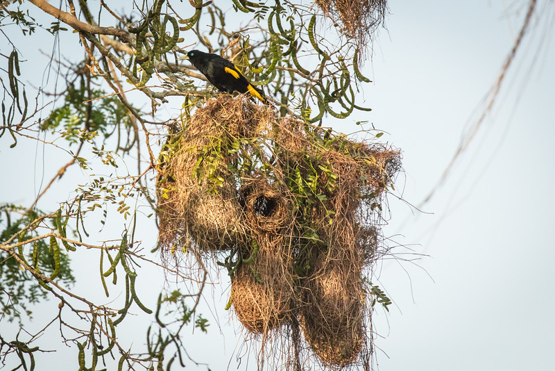 Yellow rumped cacique, a weaver, above its elaborate built nest with space for a family.