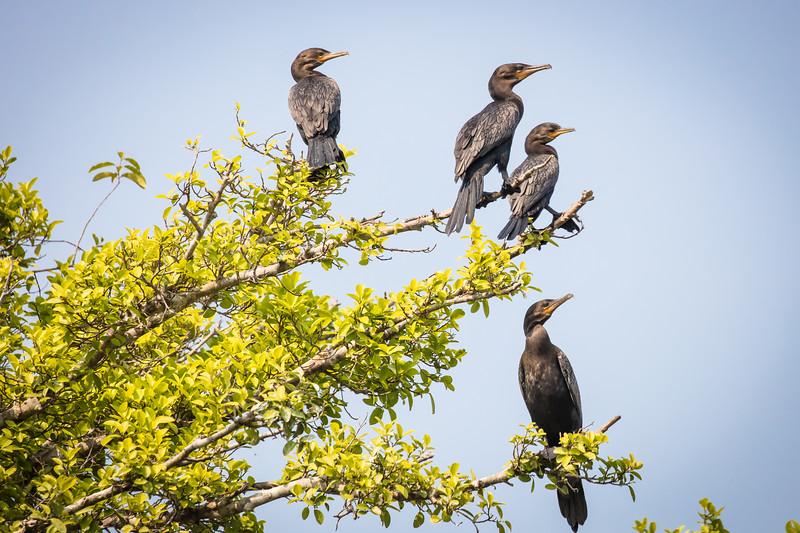 Nesting cormorants.