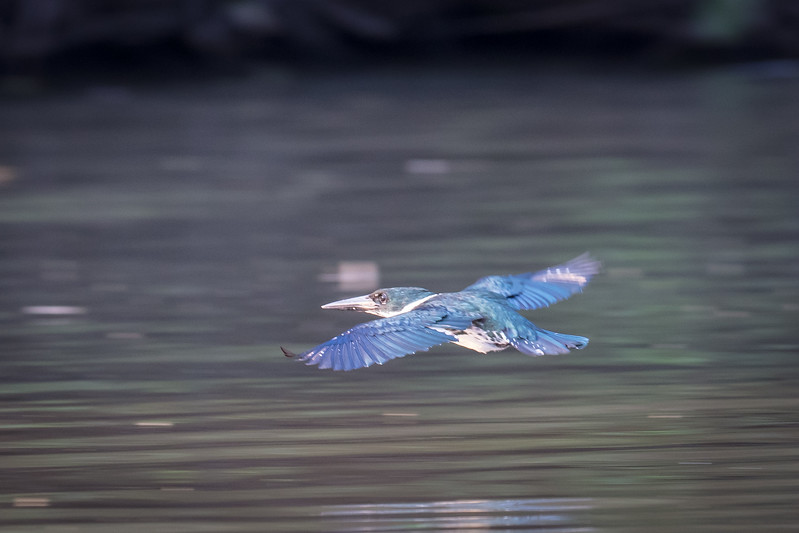 Amazon kingfisher flying low over the river looking for a catch.