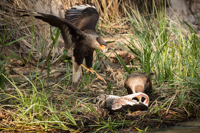A caracara coming in to help a mate devour a fish that washed up on the shore, probably the remains from an otter.