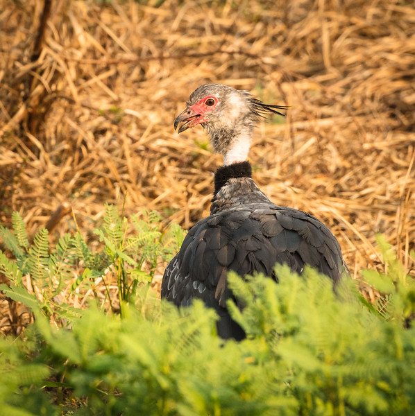 Another view of a Southern screamer.