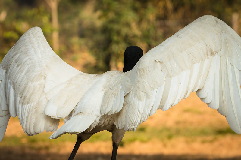 Wings up for take-off by our big jabiru stork