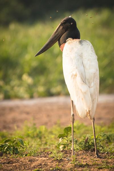 Jabiru stork surrounded by flies