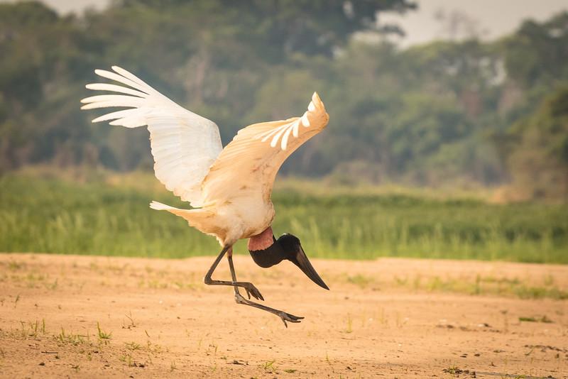 Jabiru stork landing