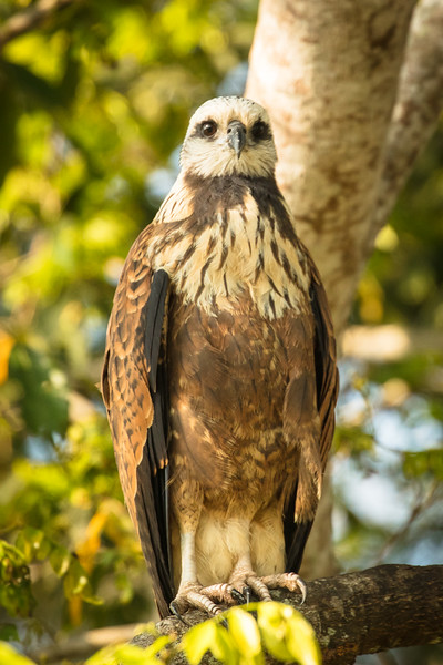 A black-collared hawk standing proudly.
