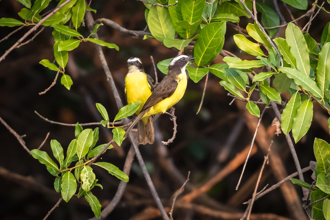 A pair of rusty margined flycatchers