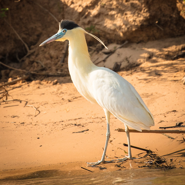 This is a capped heron, an elegant bird.