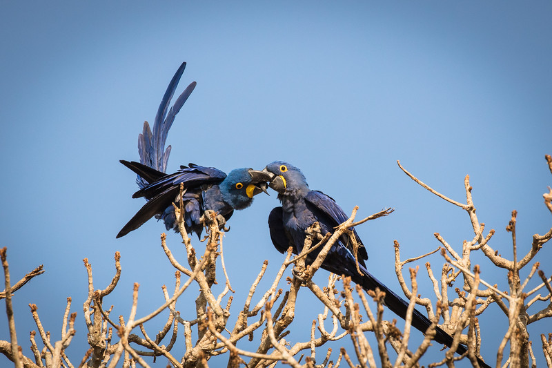 Macaws smooching.