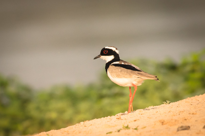 A pied plover on the beach.