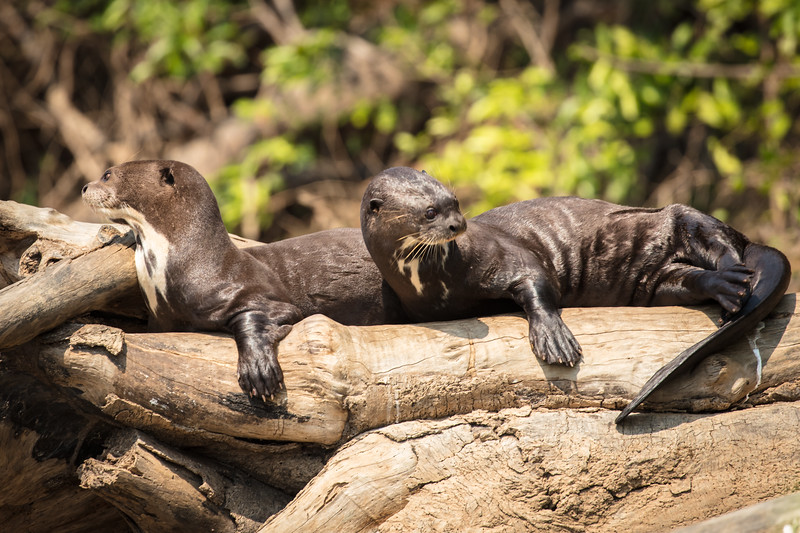 Now you can see the powerful tail flipper on these otters.