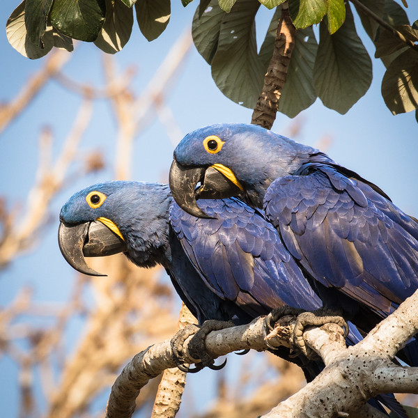 More fun watching hyacinth macaws.