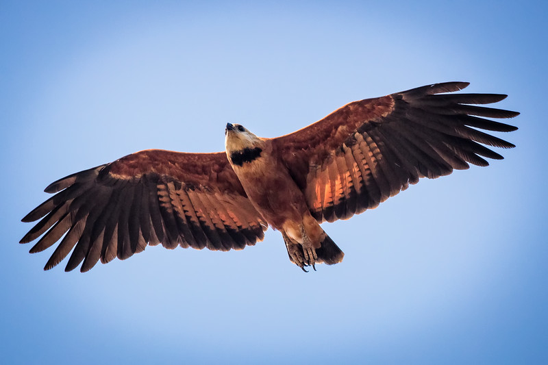 Black-collared hawk flying majestically.