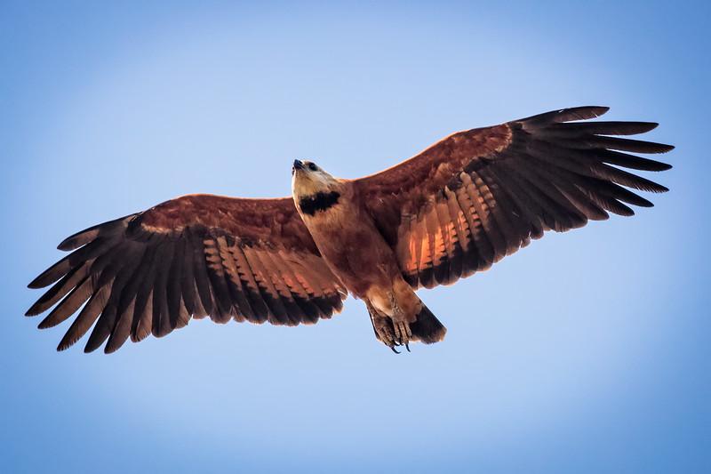Black-collared hawk flying majestically.