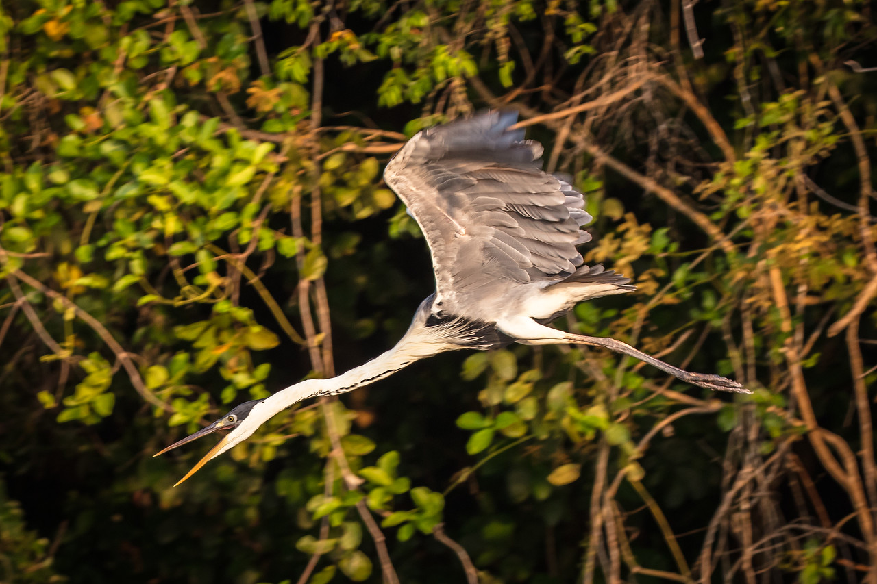 Similar to our great blue heron, this cocoi heron was in a dive to catch a fish.