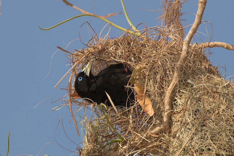 More nest building.