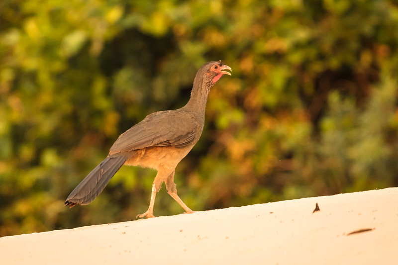 This is a chaco chachalaca