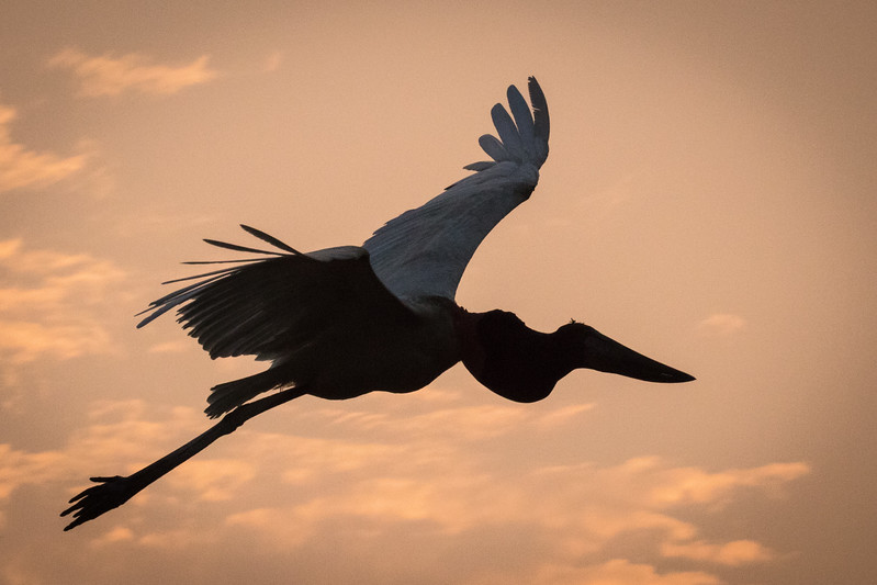 In our last hour on the river we see our jabiru stork fly away.