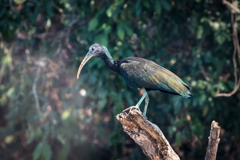 This is a green ibis.