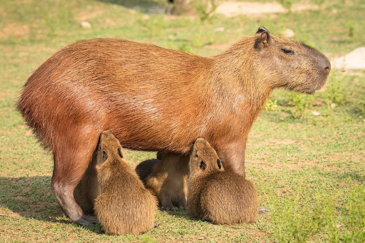 Mother stood patiently while her 4 young ones nursed.