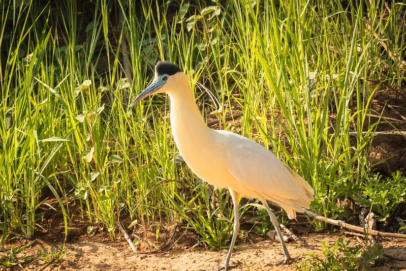 Capped heron in nice light.