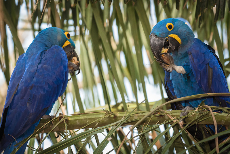 Macaws love to eat nuts.