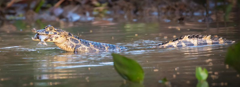 Here he is with his prey. This caiman was maybe 4 feet long.