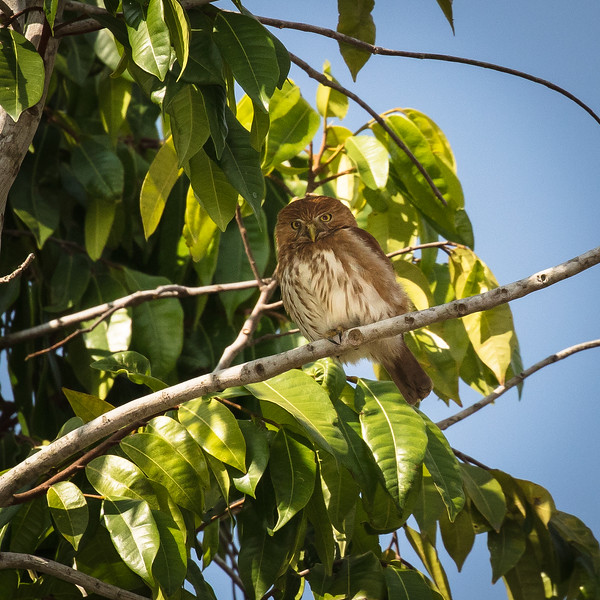 Our guide pointed out this tiny pygmy owl high in a tree.
