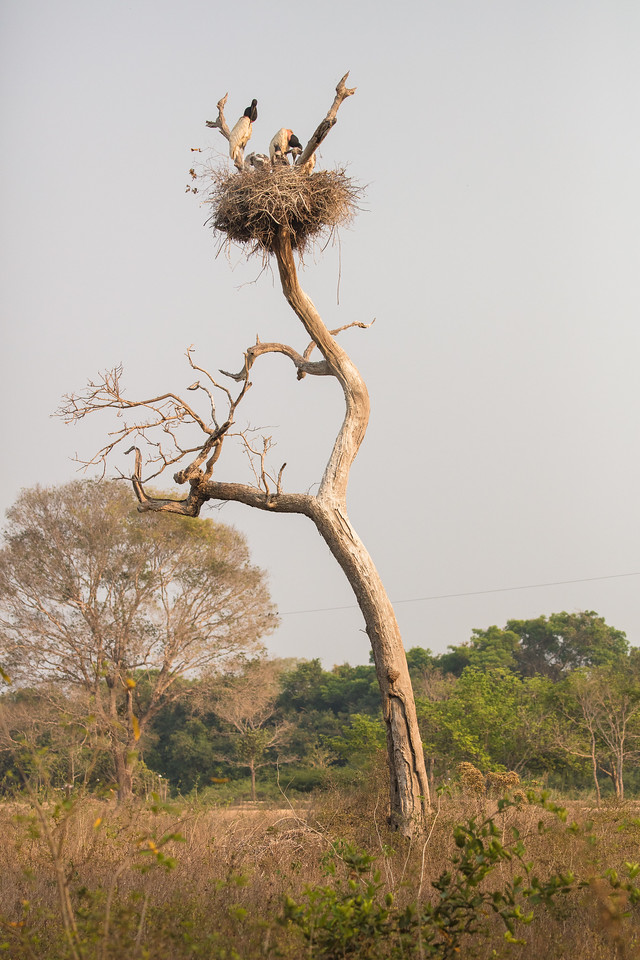 A 100 meters from the lodge was this huge jabiru stork nest.
