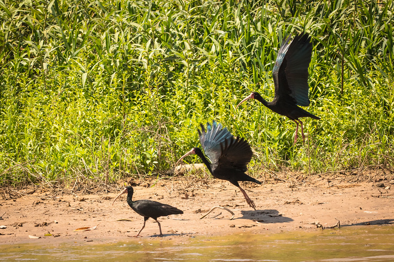 Bare-faced Ibis in triplet.