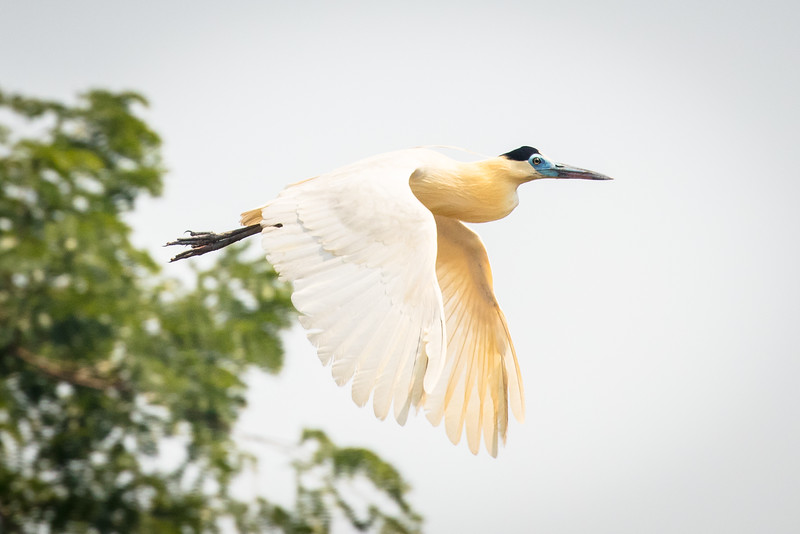 Capped heron in flight.