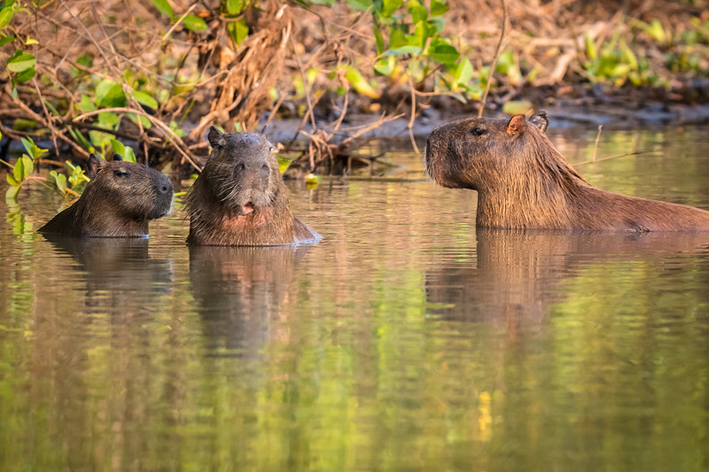 A new animal for me; it's a capybara. They were common throughout the region.