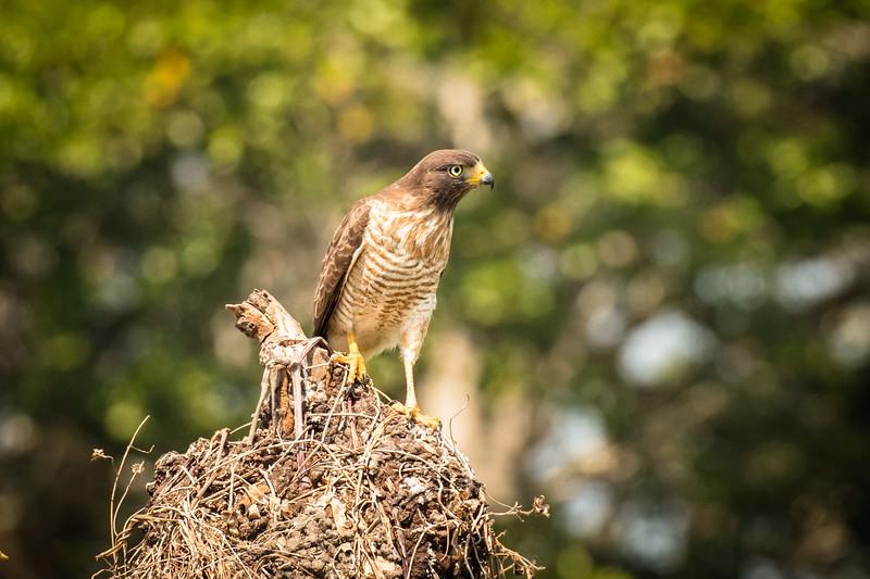 Roadside hawk looking for action.
