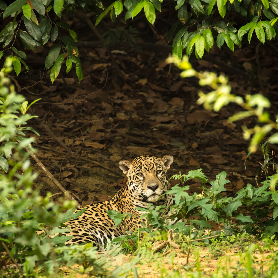 We spotted this jaguar tucked into the woods of the shaded river bank.