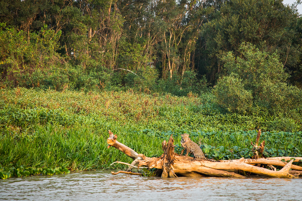 Back into the bush she went only to suddenly appear on this log farther downstream.