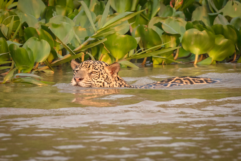 Jags are good swimmers and like caimans for a snack.