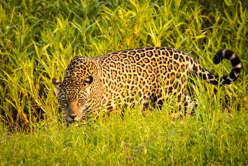 The light was fantastic and the jaguar was not bothered by our presence.