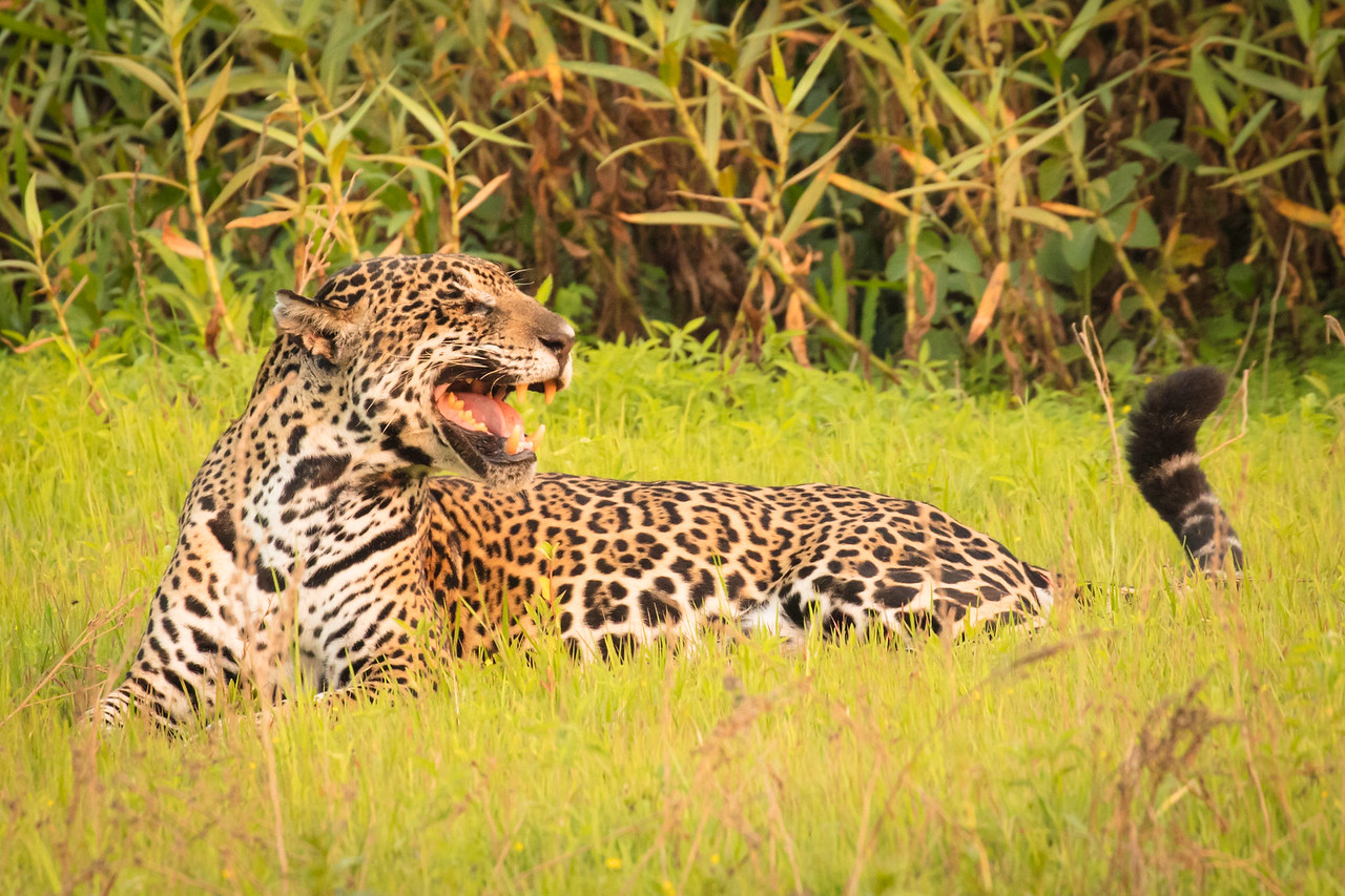 Maybe this snarl was the jaguar's way of expressing his displeasure with our invasion of her privacy.