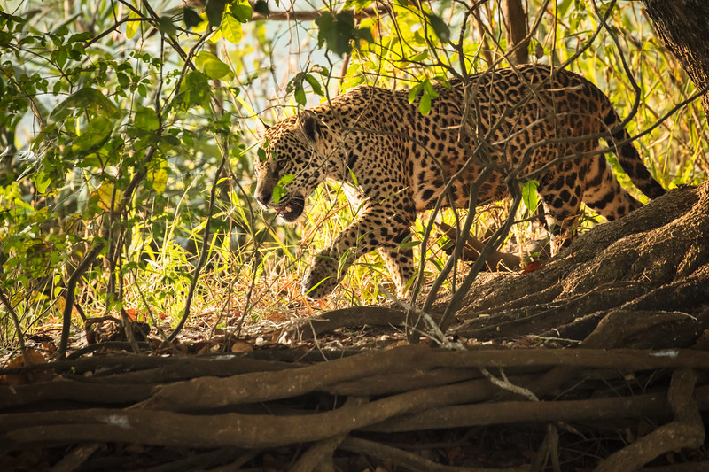 Our boat  driver got a call that a jaguar had been spotted. We held onto our gear and hats, racing  to the location to see this jaguar in the bush.