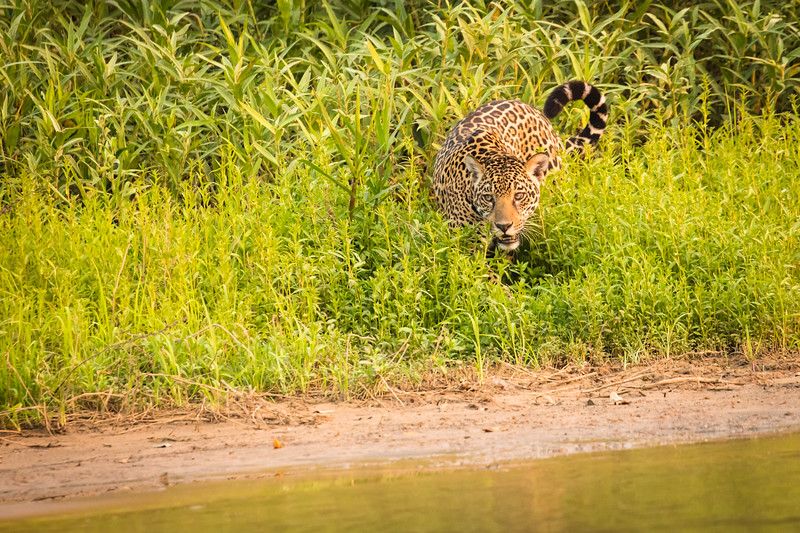 On our first outing cruising down the river we encounted our first jaguar.