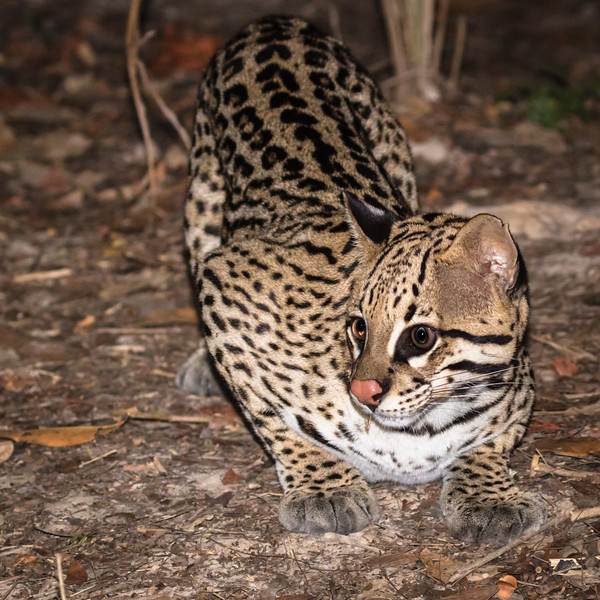 One evening we trekked to a blind to observe two ocelots feed on pieces of chicken.